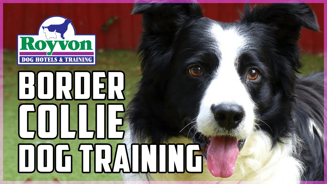 Training A Reactive Border Collie - Royvon