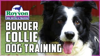 How to train your Border Collie to be obedient