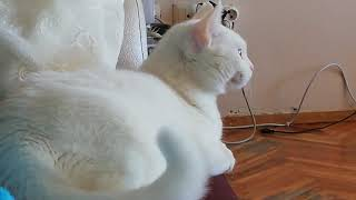 Turkish Van Cat Reaction