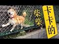 柴犬搞笑集錦~柴柴,又卡住了~ の動画、YouTube動画。