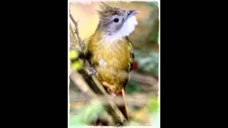download suara burung cucak jenggot samurai