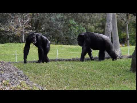 Chimp love narration