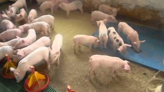 viermi în tratamentul simptomelor porcine)