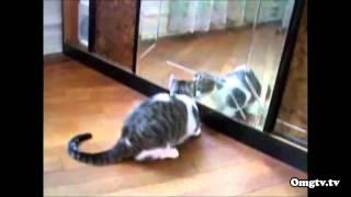 Смешное видео  Кошки и зеркало