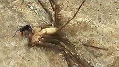 Tarantula hawk paralyzing a spider to hatch eggs inside the spider abdomen