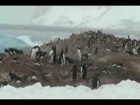 Antarctic Cruise: Antarctic Penguins in Cuverville Island