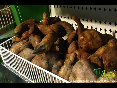 How to cultivate Yacon - TvAgro por Juan Gonzalo Angel