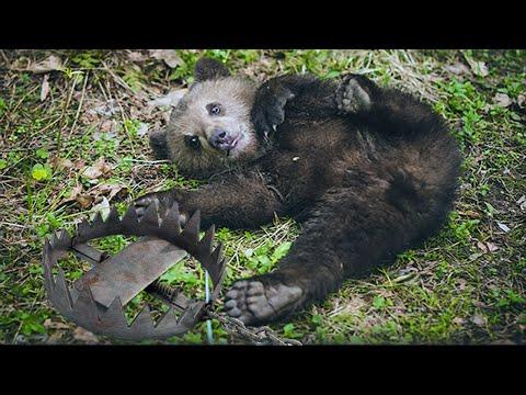 🐻 МЕДВЕЖОНОК ИСТОШНО ПЛАКАЛ И ПРОСИЛ ПОМОЩИ!Но медведица не могла ему ничем помочь! Случай в тайге!