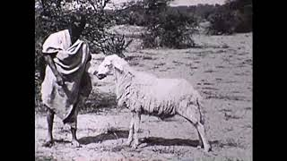 Élevage au Soudan Français il y a une siècle /Animal Husbandry in in the French Sudan (now Mali)
