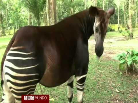 Okapi, en peligro por la caza y la guerra