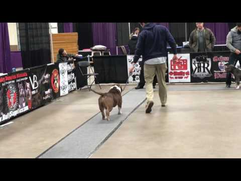 ABKC Allentown Peace, Love Bully Fest 2017.  American Bully Grand Champion Class