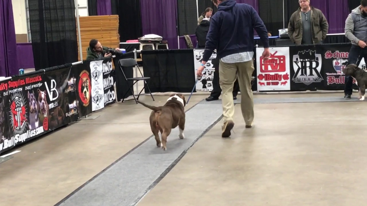 ABKC Allentown Peace, Love Bully Fest 2017  American Bully Grand Champion  Class
