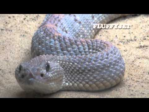 RATTLESNAKE - Most Deadly Reptiles - Quick Facts - Snake Fangs and Avoiding Snake Bites