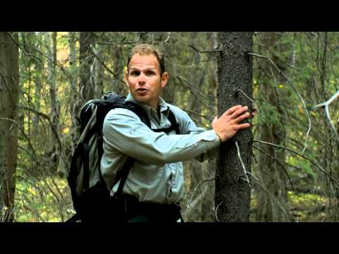 Fire in the Forests - Part 1: Fire and Lodgepole Pine - Banff National Park