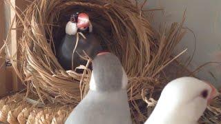 かわいい攻防!! 桜文鳥VSシルバー文鳥&白文鳥 巣の争奪戦