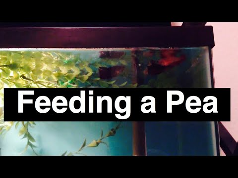 Feeding Pea To Betta Fish For Bloat Issues