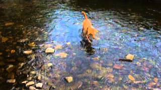 Dog fishes for rocks Thumbnail