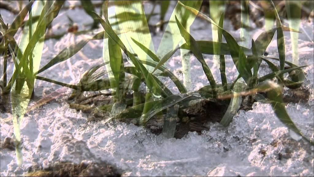 Download Wie wächst Weizen? | frage-trifft-antwort.de | Planet Schule | SWR