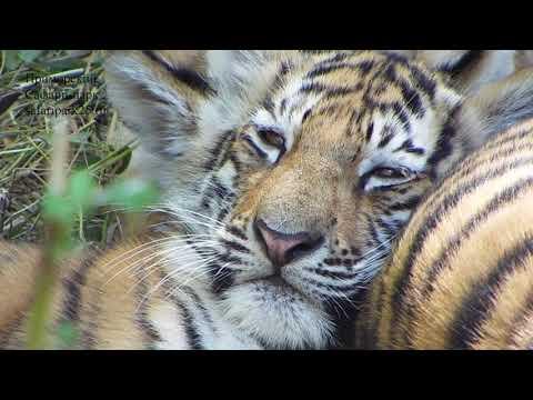 Игры Амурских тигрят, детей знаменитого тигра Амура.