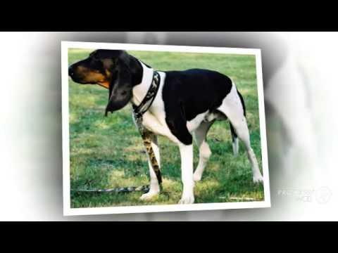 Арьежская гончая порода собак