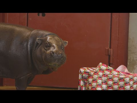 Oklahoma Zoo Gets Hippopotamus for Christmas