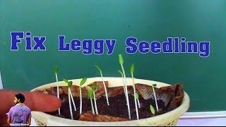 क्या आपकी सीडलिंग बहुत लम्बी हो जाती है ?How to Prevent  Leggy Seedling -13th May 2017/Mammal Bonsai