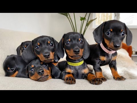 Dachshund Puppies 8 Weeks Old.