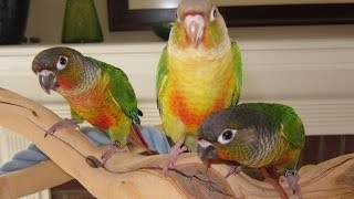 Flying Lessons for Baby Green Cheek Conures