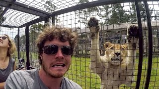 Surrounded by Lions / Vlog 005 - Orana Wildlife Park