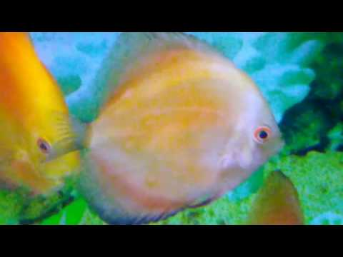 Day 252 - Treating Sick Discus With White Spots