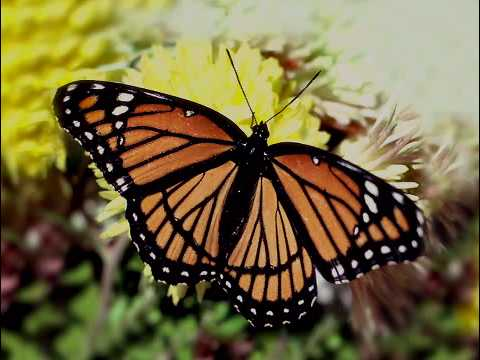 Download Viceroy butterfly