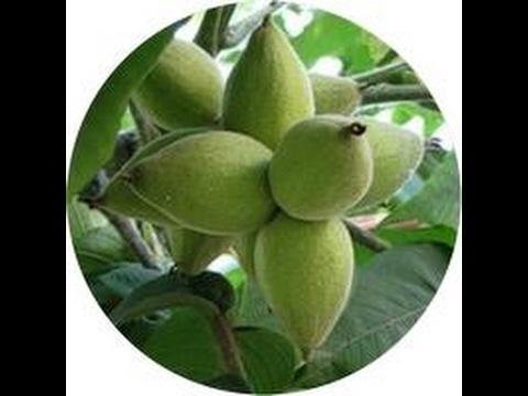 Листья черного ореха black walnut leaves (1395) от компании coral club от salmauz купить в ташкенте, узбекистане, просмотреть фото и отзывы вы.