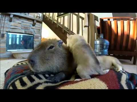 Capybara plays with puppies