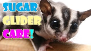 SUGAR GLIDER CARE (101 Everything You Need To Know)  -Pet Adventures