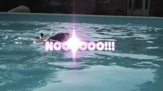 Miniature Pinscher Swimming Time :: Min Pin