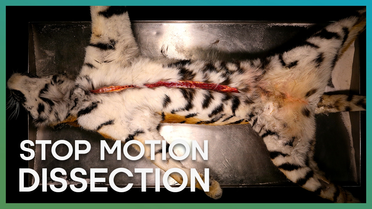 Tiger Dissection Stop Motion Earth Unplugged Youtube