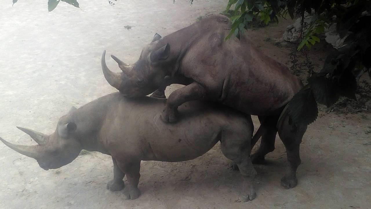 rhino sex