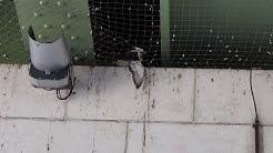 A Rouen, des pigeons agonisent piégés par un filet