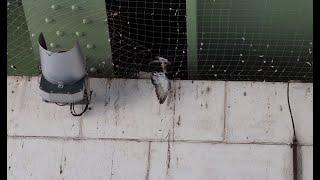 A Rouen Des Pics A La Place Des Filets Ou Les Pigeons Agonisaient De Faim Ou D Epuisement Sous Le Pont Boieldieu