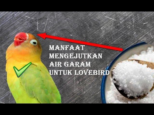 Manfaat Air Garam Untuk Lovebird Rahasia Lovebird Ngekek Panjang Di Lapangan Youtube