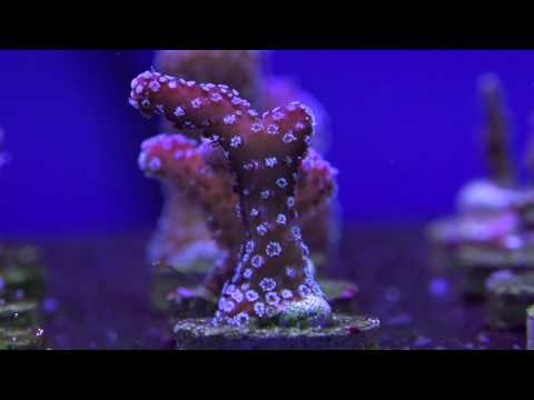 Eight Great Beginner SPS Corals