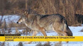 Голодные волки стали нападать на домашних животных