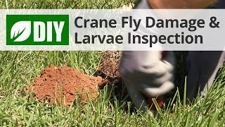 Crane Fly Damage & Larvae Inspection