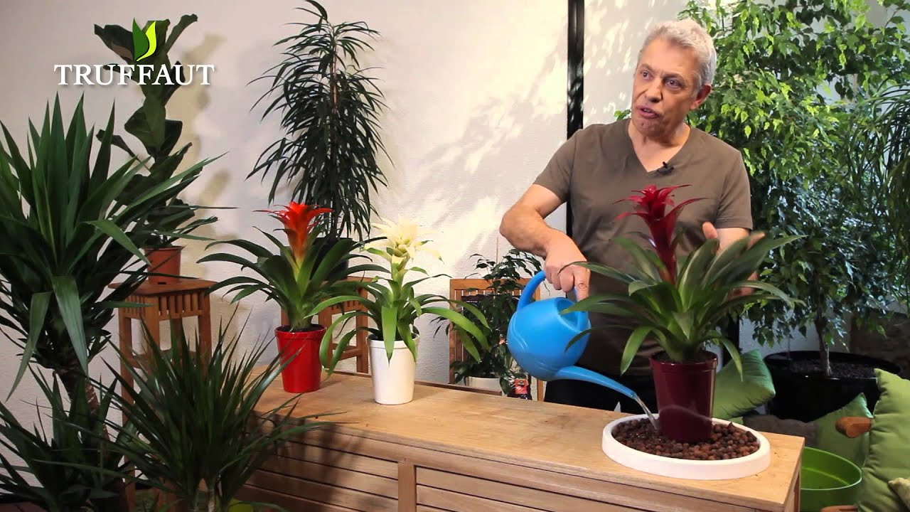comment entretenir un guzmania jardinerie truffaut tv youtube. Black Bedroom Furniture Sets. Home Design Ideas