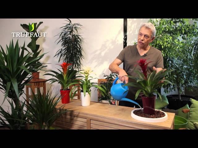 Comment Entretenir Un Guzmania Jardinerie Truffaut Tv