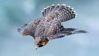 ¡EL HALCÓN es un caza con pico! ¡El animal MÁS RÁPIDO de todo el planeta!