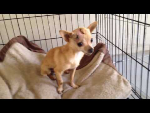 Titan Chihuahua Rescue