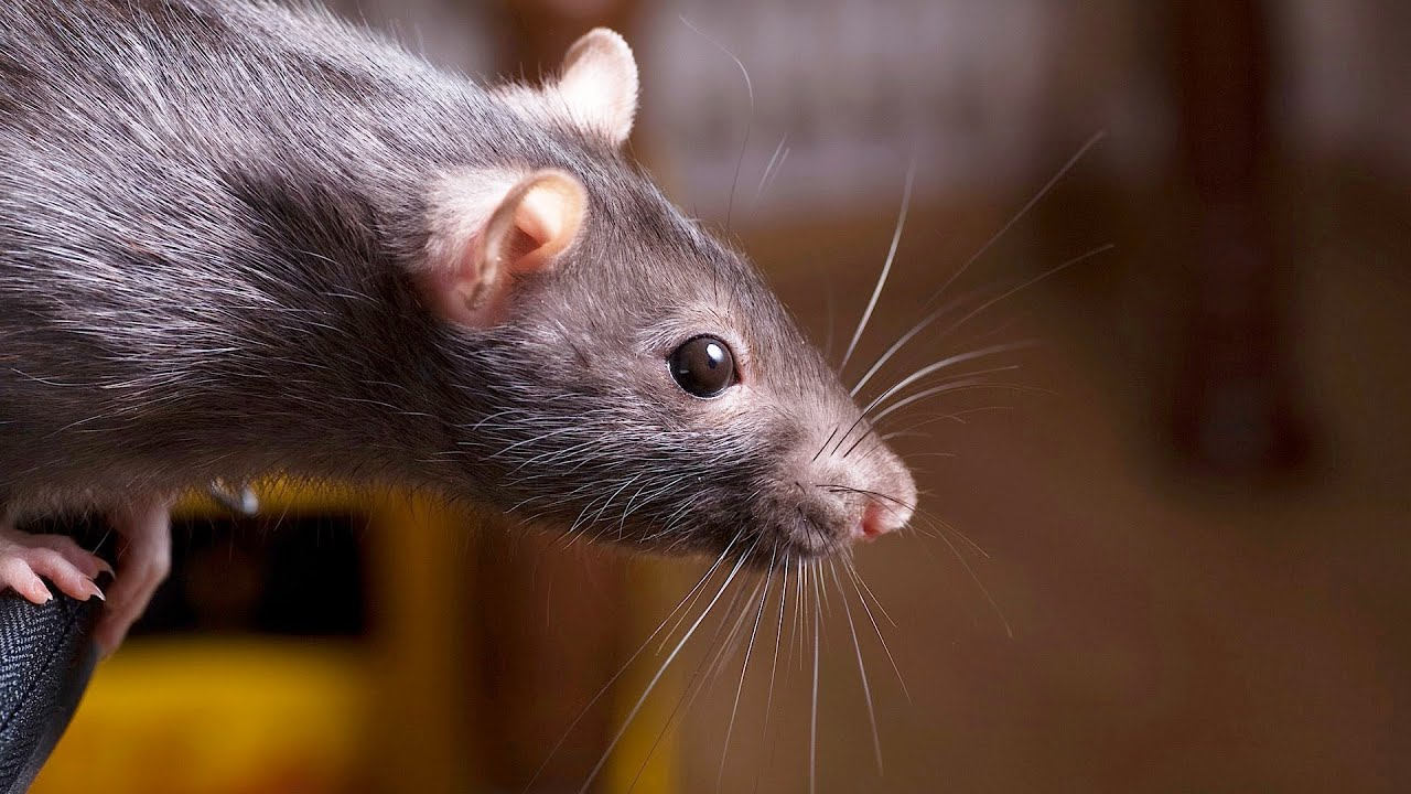 how to keep a rat happy healthy pet rats youtube. Black Bedroom Furniture Sets. Home Design Ideas