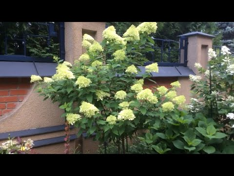Гортензия метельчатая Грандифлора