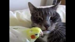 Попугай влюбился в кошку